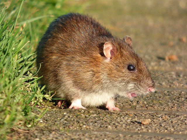 Rat Removal Service In Dfw Amp Houston Chimney Amp Wildlife
