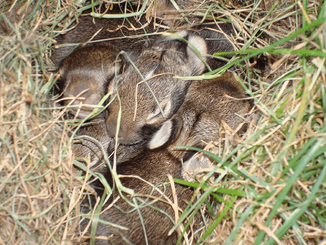 rabbits nest