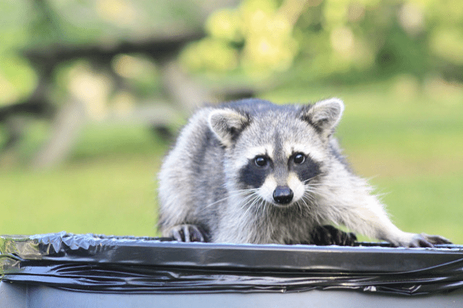 How To Keep Wildlife Out Of Your Garbage Can Chimney And Wildlife