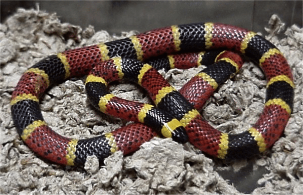 Red And Yellow Catch A Fellow Venomous Snakes Of North Texas Chimney And Wildlife